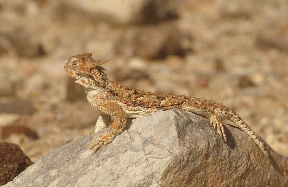 The Desert Horned Lizard - Elephas maximus